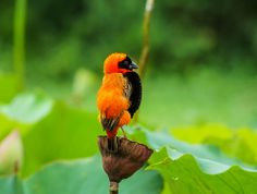 Souther Red Bishop