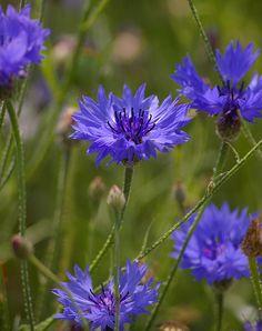 Korenbloemen Blooming Flowers, Iris Flowers, Flowers Nature, Purple Flowers, Beautiful Flowers, Rainbow Bouquet, Language Of Flowers, Blue Garden, Daffodils