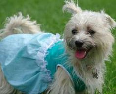 Dog harness dress....