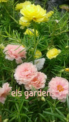 Mossrose Portulaca Flowers, Good Morning Flowers, My Flower, Trees To Plant, Farming, Gardening, Landscape, Wallpaper, Rose