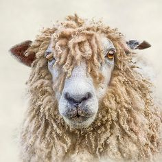 Longwool Sheep Art Print by Linsey Williams Wall Art, Clothing, And - X-Small Farm Animals, Cute Animals, Sheep Face, Wooly Bully, Afrique Art, Photo Animaliere, Sheep And Lamb, Tier Fotos, Leicester