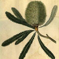 Botanical illustration of banksia aemula Vintage Botanical Prints, Botanical Drawings, Botanical Art, Vintage Prints, Vintage Art, Nature Prints, Art Prints, Historia Natural, Missouri Botanical Garden