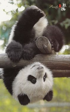 Information about types of pandas that exist in the world. Not only that, you can find fun facts about giant pandas and red pandas too. Cute Baby Animals, Animals And Pets, Funny Animals, Baby Pandas, Giant Pandas, Penguin Baby, Smiling Animals, Baby Panda Bears, Red Pandas