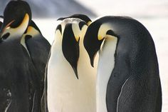 Twice as many as previously thought!: The emperor penguins of Antarctica from space, photo by Michelle LaRue, University of Minnesota who enhanced high-resolution satellite images to accurately count Emperor Penguins. There are nearly 600,000. via MPR.