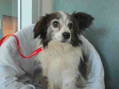 SPRECKELS - ID#A1490827  My name is Spreckels and I am a neutered male, white and brown Papillon mix.  The shelter thinks I am about 9 years old. I weigh approximately 10 pounds.  I have been at the shelter since Jul 06, 2014.   West Valley Animal Care and Control Center at (888) 452-7381 Ask for information about animal ID number A1490827
