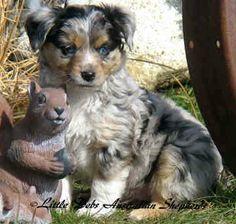 mini aussie puppies for sale | Mini Australian Shepherd Dogs For Sale