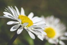 Gänseblümchen - daisies