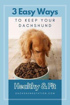 3 Ways To Keep Your Dachshund Healthy- Dachshund Station. Dachshunds Love Food! Unfortunately, these adorable long dogs are one of many small breeds that are more Prone to Obesity.  #dachshund  #doxie