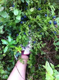 Nature's Gifts Dear World, Wild Blueberries, Blueberry, Nature, Gifts, Berry, Naturaleza, Presents, Blueberries