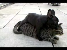 """French Bulldog """"Viciously"""" Attacks Cat… And It's Totally Adorable."""