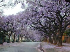 Jacaranda Trees in Pretoria Central 600x450 Jacaranda Trees in ...