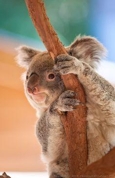 """""""Koala at Riverbanks Zoo"""" by Chris Laforêt"""