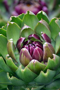 Its been a wonderful summer for artichokes, they are such beautiful flowers to have in my vegetable garden. Artichoke Flower, Artichoke Hearts, Fruit And Veg, Fruits And Veggies, Vegetables, Peony Painting, Mural Painting, Paintings, Purple Garden