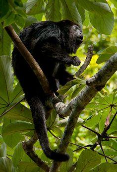 Belize - oh the howler monkeys.