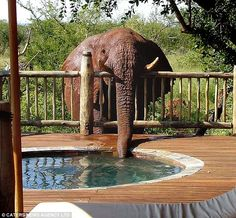 """From the UK Mail:    """"Staff at the safari park were baffled by the mystery of the disappearing whirlpool bath.    Every morning they filled the open-air bath outside one of the guest lodges, and every night it was empty - even though no leak could be found."""""""