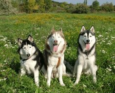 For Rocko, Our Granddoggy - Do you have what it takes to own a Siberian Husky? Are you researching the breed because you are enamored with these beautiful dogs? Learn the pros and cons of owning this alluring breed which is not for everyone.