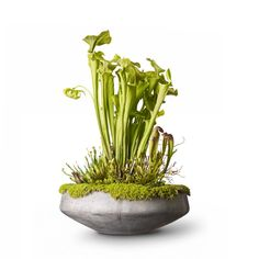 Tired of gnats around the kitchen sink? Or just feeling adventurous? Grow carnivorous plants and never struggle with flies again.