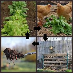 Gardening with Chickens - Part 1 - Why Chickens?