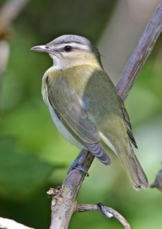Red-eyed Vireo: breeds from BC/ ON/ Ghlf if St Lawrence south to OR, CO, Gulf Coast, FL. Winters in tropics
