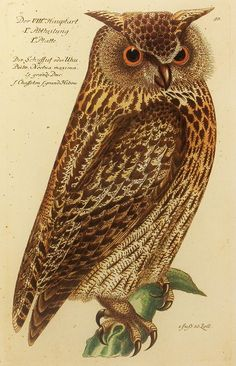 Vintage Bubo Noctua Maxima Owl Bird Print (Wall Hanging Owl Decor) 18th Century Illustration Art (Book Plate No. 7 For-You-To-Frame). $5.00, via Etsy.