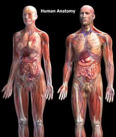 Human Anatomy Human anatomy images are provided by a free medical advice website online published by Vivienne Balonwu. thats what it says but alas I made this image. 3d Human, Human Body, Anatomy Images, Medical Coding, Med Student, Medical Assistant, Physician Assistant, Medical Field, Body Systems