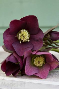 My new favorite flower??  Hellebores   Madelief: The first spring flowers
