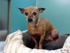 TO BE DESTROYED 12/01/13  Manhattan Center   My name is DAMIAN. My Animal ID # is A0985734. I am a male brown chihuahua sh mix. The shelter thinks I am about 7 YEARS old.  I came in the shelter as a STRAY on 11/22/2013 from NY 10456, owner surrender reason stated was STRAY. https://www.facebook.com/photo.php?fbid=714210738591808&set=a.611290788883804.1073741851.152876678058553&type=3&theater