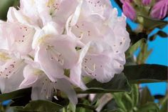 Rhododendron 'Cunninghams White'   Die maximale Höhe dieses Rhododendrons beträgt etwa 2 m, die maximale Breite beträgt ebenfalls etwa 2 m.  Das maximale Wachstum pro Jahr beträgt etwa 20 cm, je nach Wachstumsbedingungen und Rückschnitt.