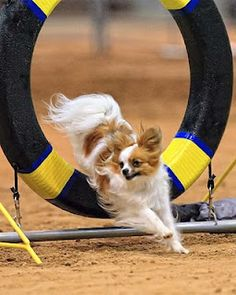A sable and white Papillon jumping  through the tire obstacle on an Agility course.
