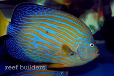 Bali Aquarich teases first captive bred maze angelfish – updated | Reef Builders