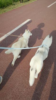 Siberian husky 'Lipi & nana'