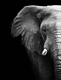 Black and White Elephant Canvas Art Print by RedFoxTailDesigns, $30.00