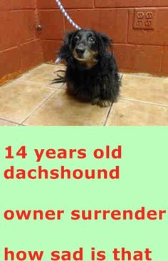 SAFE ❤️❤️❤️❤️❤️❤️❤️ 14 YEAR OLD DACHSHUND NEEDS PLEDGES AND RESCUE! OWNER SURRENDER! AVAILABLE NOW!  A4810088 My name is Missy and I'm an approximately 14 year old female dachshund lh. I am already spayed. I have been at the Downey Animal Care Center since March 21, 2015. I am available on March 21, 2015. You can visit me at my temporary home at DRECEIVING. https://www.facebook.com/photo.php?fbid=838600906220243&set=pb.100002110236304.-2207520000.1426970565.&type=3&theater