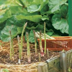 Asparagus is one of the tastiest, easiest vegetables you can g row. A little work up front pays off with years of good eating. Find out how to plant and manage this quintessential spring crop. ~growing asparagus is the best! Growing Vegetables, Fruits And Veggies, Gardening Vegetables, Organic Gardening, Gardening Tips, Urban Gardening, Unique Garden, Jardin Decor, Edible Garden