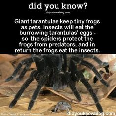 Giant tarantulas keep tiny frogs as pets. Insects will eat the burrowing tarantulas' eggs - so the spiders protect the frogs from predators, and in return the frogs eat the insects. Ecologists categorize this interaction as symbiotic mutualism. Reptiles, Lizards, Amphibians, Funny Animals, Cute Animals, Unusual Animals, Wtf Fun Facts, Crazy Facts, Random Facts