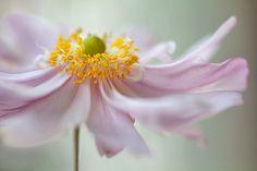 Anemone | Flickr - Photo Sharing!