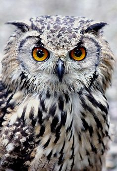 Bengal Eagle Owl by Jonathan | Flickr - Photo Sharing!