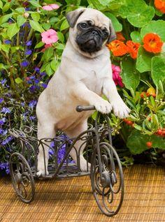 Wat een schat :-) Hoe snel zou hij kunnen fietsen?
