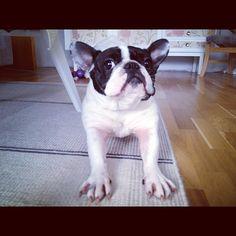 'Do You Mind? I'm trying to Stretch!' Hedda the French Bulldog.