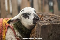Un lugar donde sentirse segura   Se podría decir que un santuario para animales de granja es un lugar donde los rescatados pueden dormir una siesta sin tener que sentir temor ni miedo de lo que les pueda pasar. Un santuario es sin duda un lugar de paz de tranquilidad y de protección.  Por eso Sofía -una bebé que fue rescatada de una vida miserable dentro de la industria de la carne- puede descansar tranquila pues tiene la certeza absoluta de que el mundo - al menos el mundo que ella conoce…