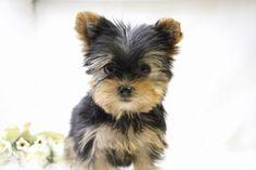 5 chiens qui restent tout petits toute la vie - Trucs et Astuces - Trucs et Bricolages Chien Yorkshire Terrier, Yorkshire Dog, Yorkshire Terrier Haircut, Teacup Puppies, Cute Puppies, Yorshire Terrier, Pets 3, Westies, Shih Tzu