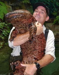 La salamandre géante chinoise :  C'est la plus grande et la plus grosse salamandre connue à ce jour, elle peut mesurer jusqu'à 2 mètres. (Giant Chinese Salamander - biggest in the world - 2 meters long) and a beauty!