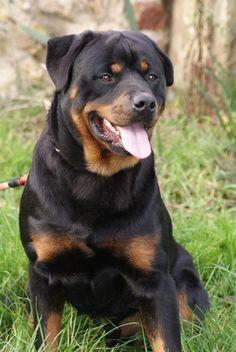 Ioda Du Domaine De La Rêverie, chien Rottweiler
