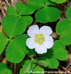 Shamrock Plant, Clover Green, Flourish, Landscape, Plants, France, Art, Gardens, Field Of Flowers