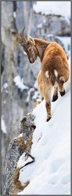 Free from dizziness ???? Alpine Ibex ( mountain goat ) #Steinbock #photo by Gutfreund Olivier ( Rucher)