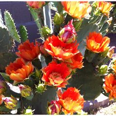 Prickly Pear Cactus Blooms