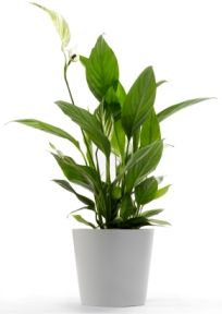 "peace lily care.  'Peace lilies could be called the ""clean-all."" They're often placed in bathrooms or laundry rooms because they're known for removing mold spores. Also know to remove formaldahyde and trichloroethylene.' -tomgrimshaw.com"