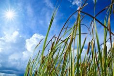 Reeds against a bright blue sky and sun.  (Renewable Energy).