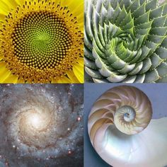 This is one example geometry is being shown. This piece of geometry is natural and proves that geometry does not have to look so saturated and fullfilled just like yellena james. Yellena James Sacred Geometry, the golden ratio or mean and phi point ratio Fractals In Nature, Spirals In Nature, Fibonacci Spiral In Nature, Fibonacci Sequence In Nature, Fibonacci Flower, Fibonacci Spiral Tattoo, Fibonacci Golden Ratio, Golden Ratio In Nature, Phi Golden Ratio