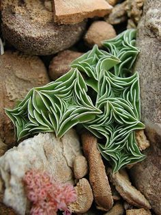 """Unknown succulent plant. Nested leaves combine to give the plant a compact, overall square shape. Since Identified as a """"Starfish Succulent."""""""